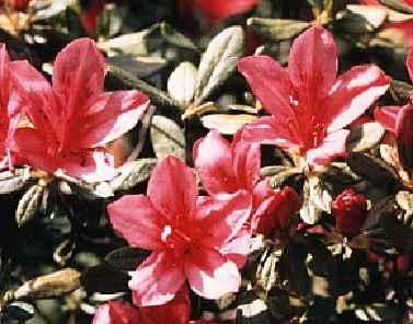 Hinohakama