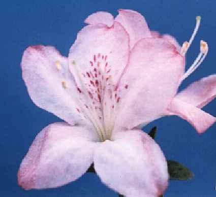 Sakura-kagami