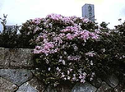 <i>tamurae</i>