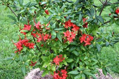 <i>prunifolium</i>