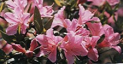 Hanaguruma
