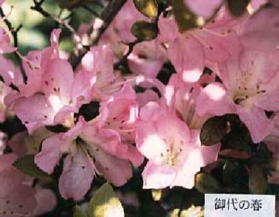 Miyonoharu