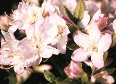 Sakurakomachi