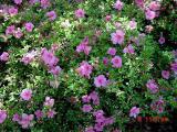 'Macranthum Pink'