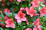 'Pink Cascade'