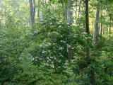 arborescens