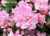 'Lovely Linda'