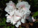 'Gardenia Supreme