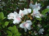 'Gardenia Supreme'
