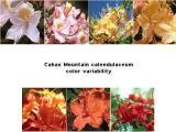Cahas Mountain calendulaceum