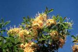 Cahas Mountain Bright Lemon Yellow