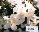'Matsunoyuki'