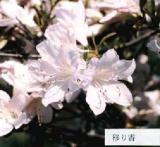 'Utsurika'