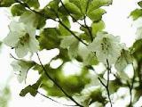quinquefolium