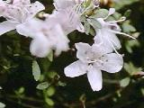 serpyllifolium var. albiflorum