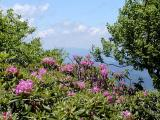 More Rhododendron Blooms