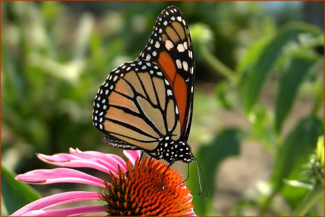 Monarch 2005