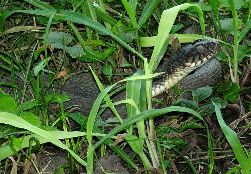 Water snake - - - -(with black ant)