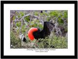 A Male Frigate Bird Trying to Attract Partner