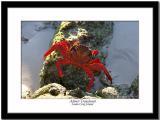 Sally Light-Foot Crab - Almost Translucent