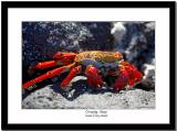 Sally Light-foot Crab