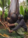 Making enset,  Ethiopian food staple