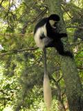 Colobos Monkey