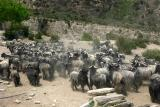 Livestock on the way to pastures
