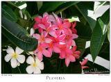 18Jun05 Plumeria