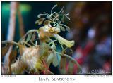 22Oct05 Leafy Seadragon - 6749