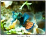22Oct05 Mandarin Fish - 6731