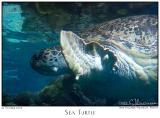 22Oct05 Sea Turtle - 6759