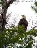 Bigger Pond visit-bald eagle, loons, birds