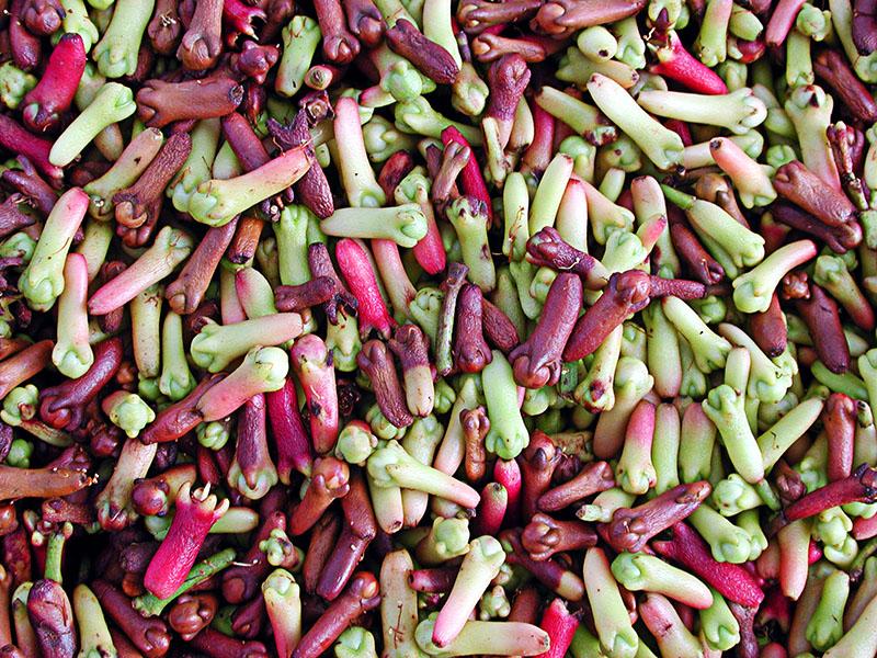 clove harvest