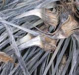 yucca fronds