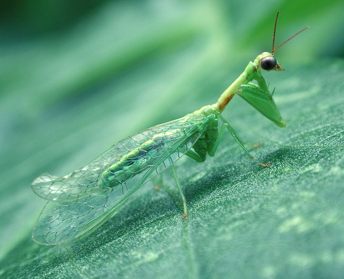 Mantispid, Order Neuroptera
