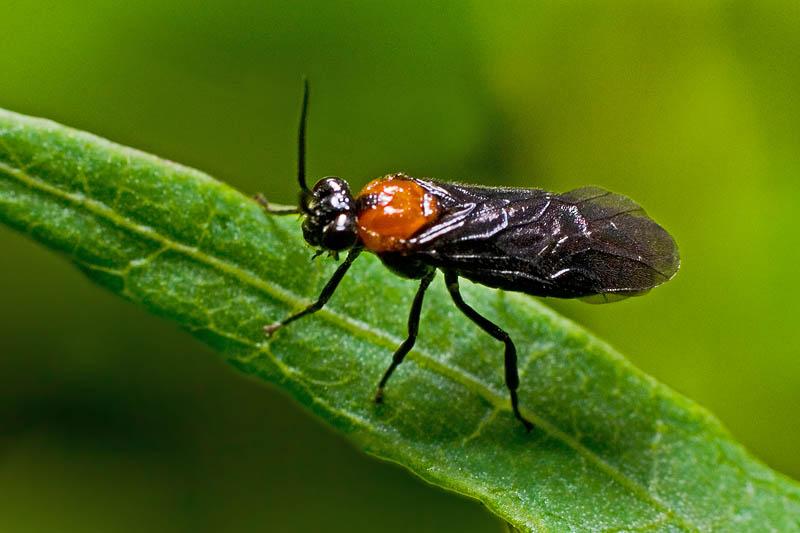 Hibiscus Sawfly