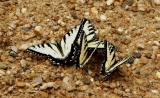 Tiger Swallowtails 'Puddling'