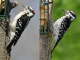 Male Downy / Female Hairy Woodpecker