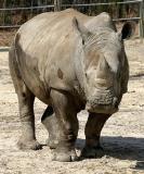 Square Lipped Rhinoceros