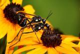 Thread Waisted Wasps
