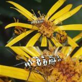 Ailanthus Webworm  moth on Ligularia