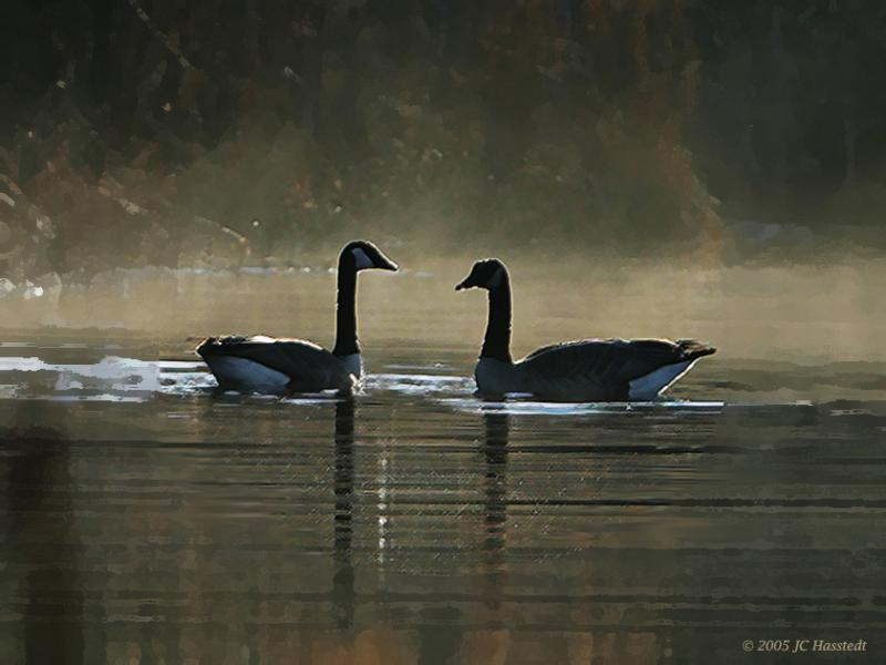 Geese Gaze Morning Mist