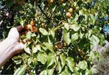 Apricots, Ladakh, India