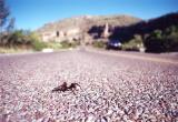 Tarantula, White City, NM