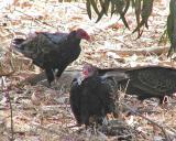 Turkey vulture picnic