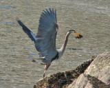 Blue heron with lunch