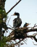 Double crested cormorants in nest