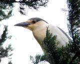 Night heron 2