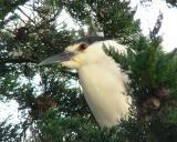 Night heron 4